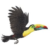 Toucan Peel and Stick Wall Sticker